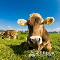 В Вельском районе выросли надои молока
