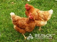 Новая жизнь Няндомской птицефабрики