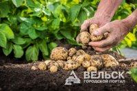 В Поморье начали копать картошку
